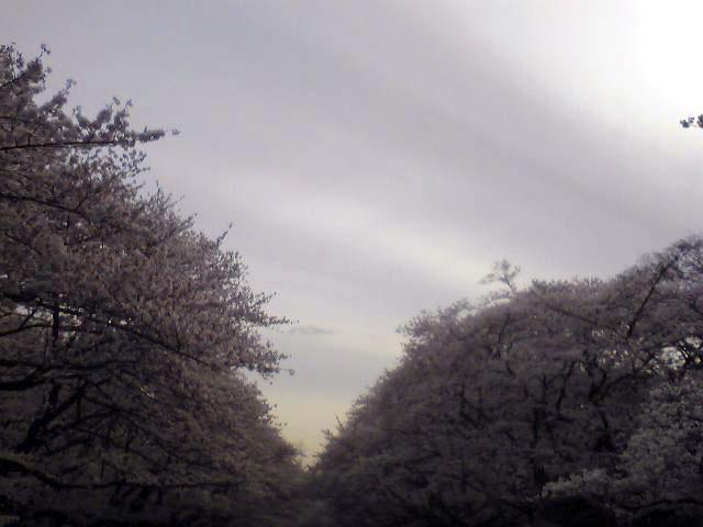 ueno-cherry2.jpg