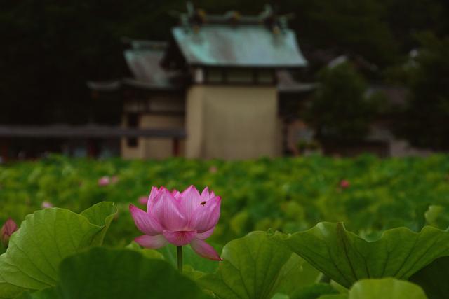 2012蓮の花9