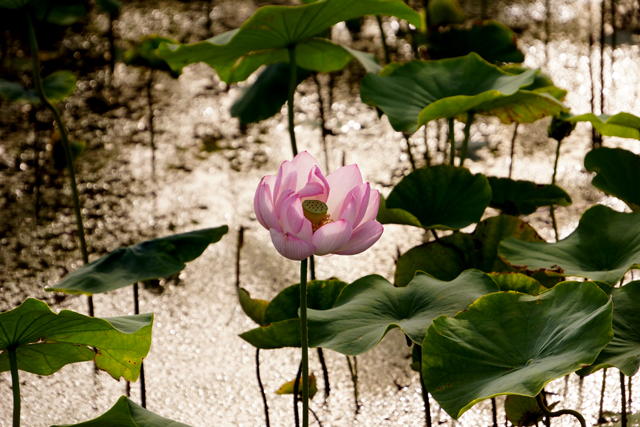 2012蓮の花7