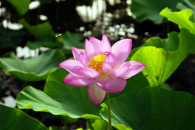 2012蓮の花5