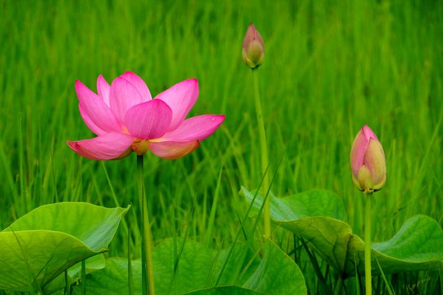 2012蓮の花4