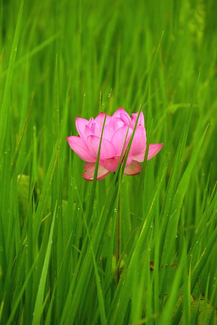 2012蓮の花3