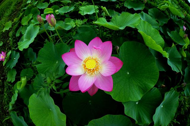 2012蓮の花1