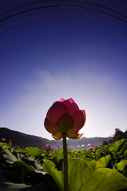 蓮の花2-10