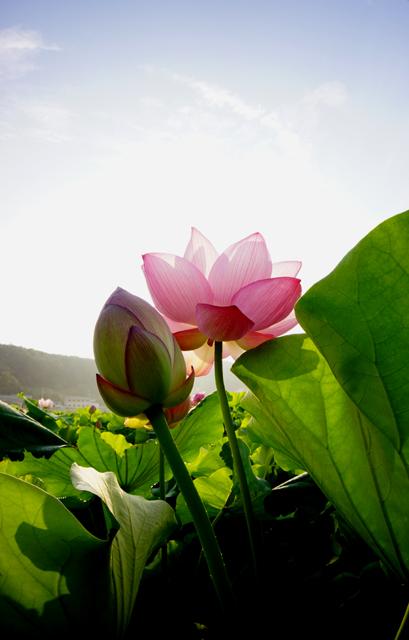 蓮の花2-6
