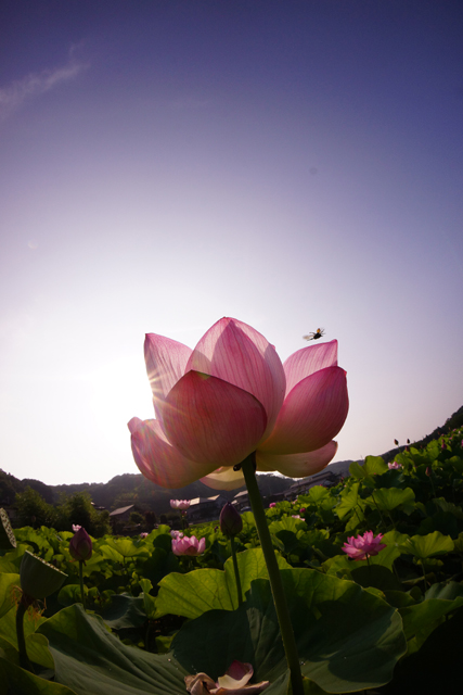 蓮の花2-4