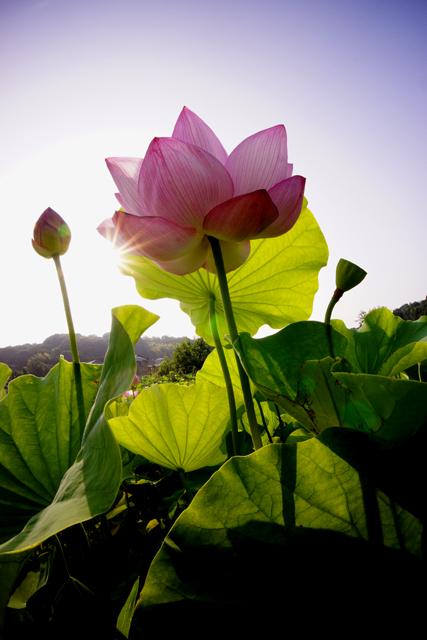 蓮の花2-3