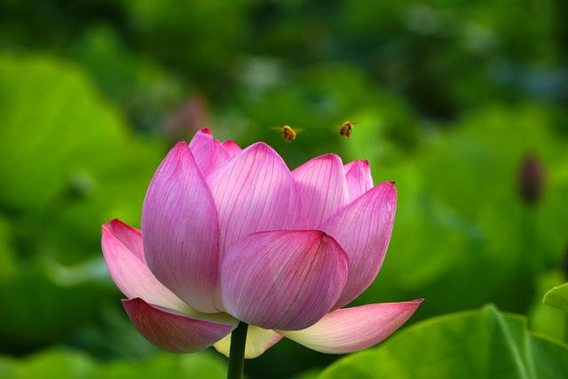蓮の花2-1
