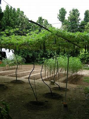 フクギ並木3