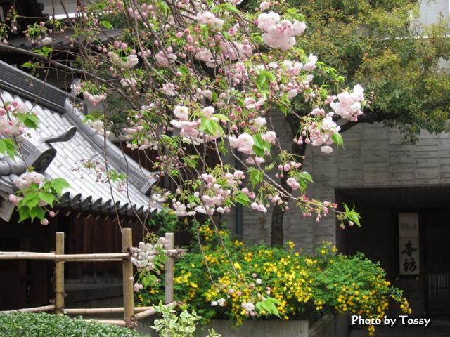 八重桜とヤマブキ