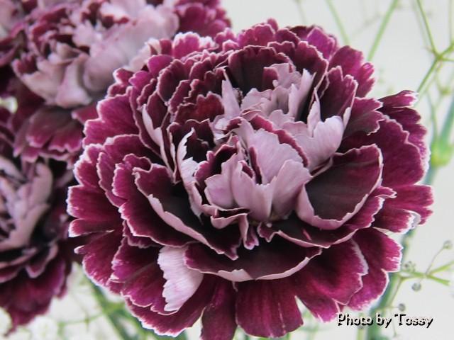 紫のカーネーション
