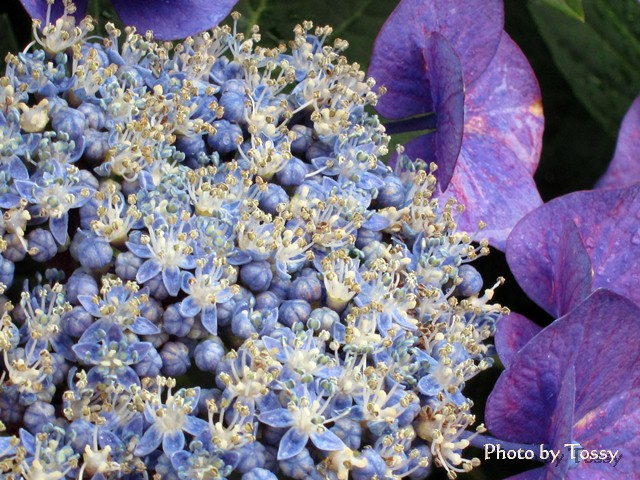 ガクアジサイ 真花