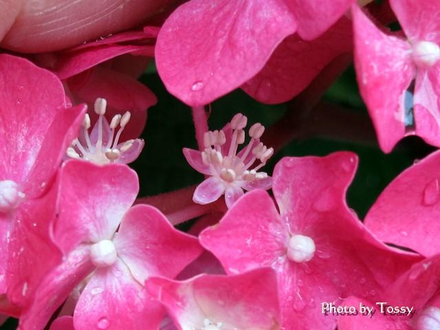 アジサイの真花