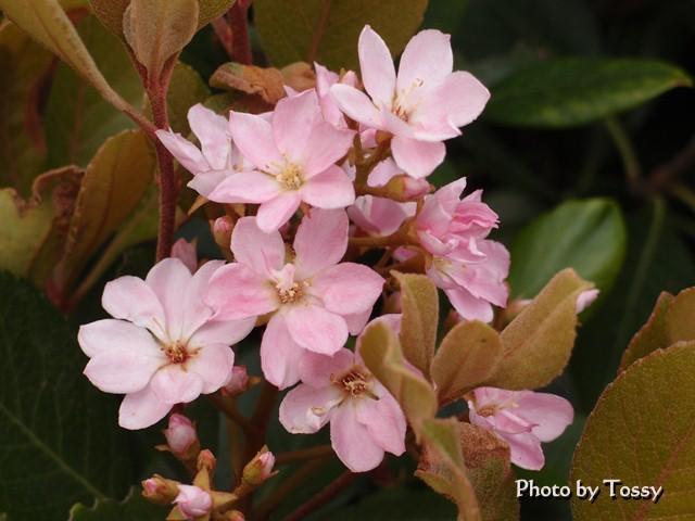 シャリンバイ ピンク花