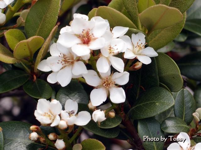 シャリンバイ 白花