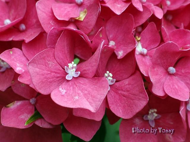 アジサイ 真花開花