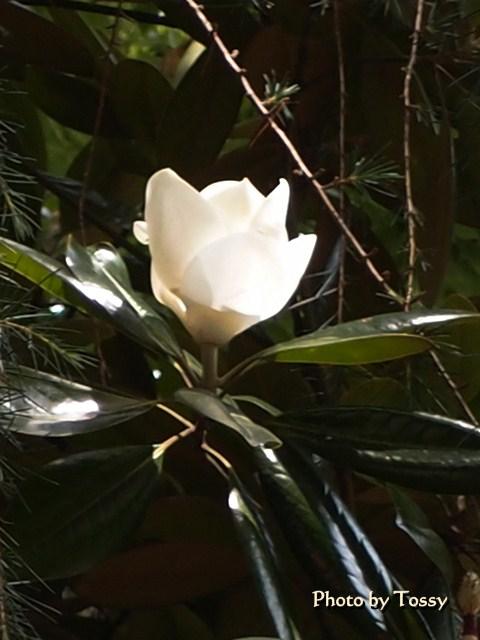 タイサンボク 咲き始め