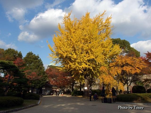 イチョウ 大阪城公園