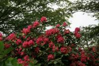 石楠花(赤)
