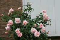 我が家の薔薇①