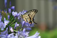 アパカンサスと蝶