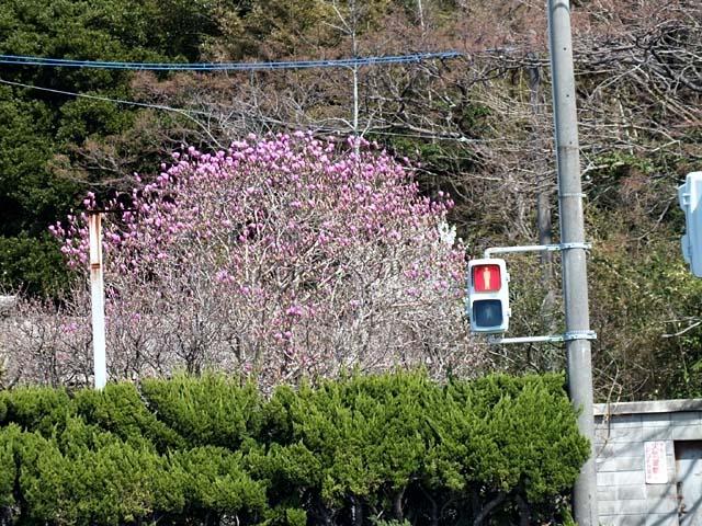 紫木蓮(しもくれん)(111910 byte)