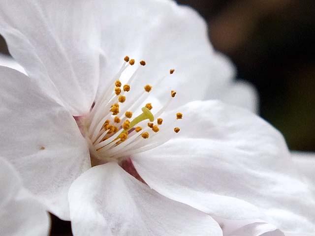 桜(26434 byte)