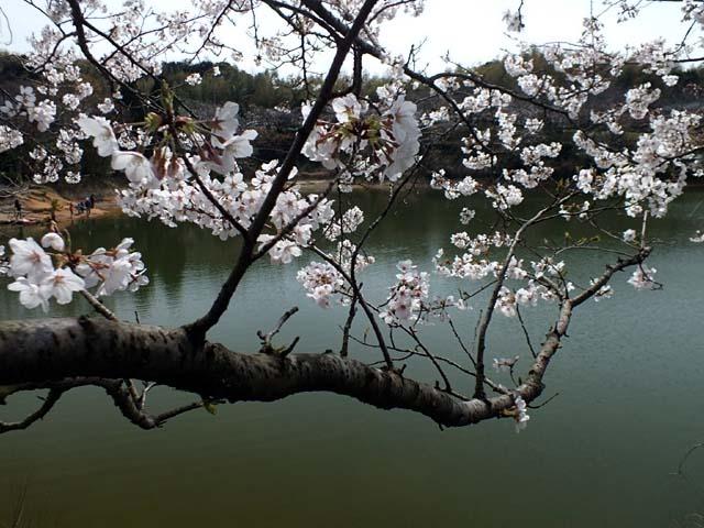 桜(68545 byte)