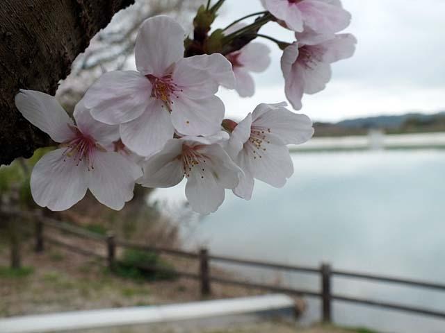 桜(31052 byte)