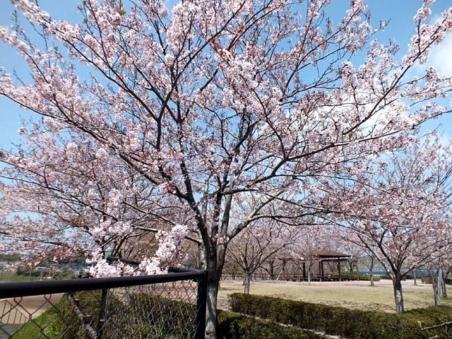 ダム湖桜景(120890 byte)