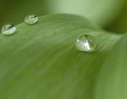 葉の上の水滴★小 250