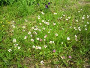 20120520花いえ草でしょう