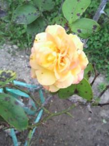 20120520花バラ