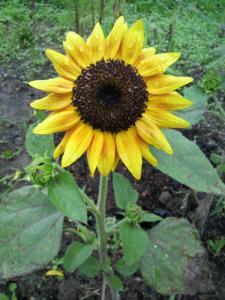 20120712ひまわり黄色