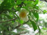 07お茶の花