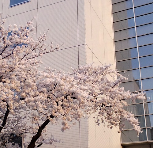 sakuraharimasaka.jpg