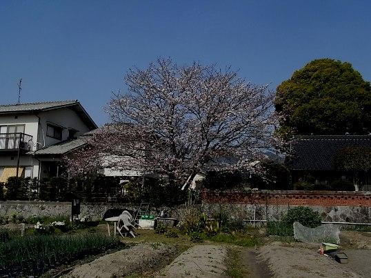 30日の桜