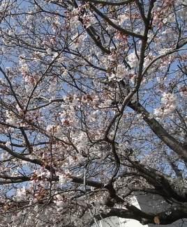 30の桜2