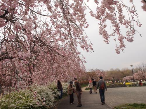 蘆花恒春園の桜。