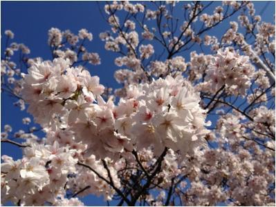 桜250405_02