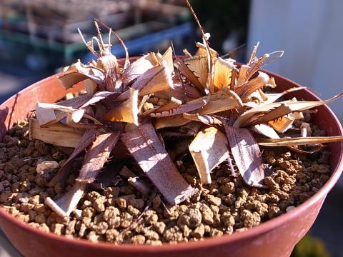 20130211_Pitcairnia micheliana (EL Tuito,Jalisco,Mexico)