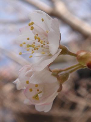 さくらんぼの花20130323A