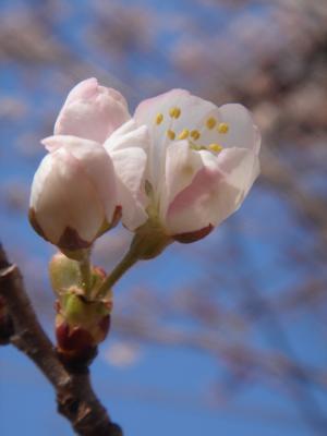さくらんぼの花20130323B