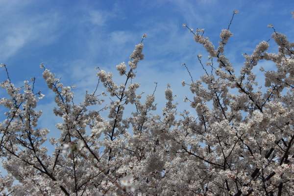 桜before2