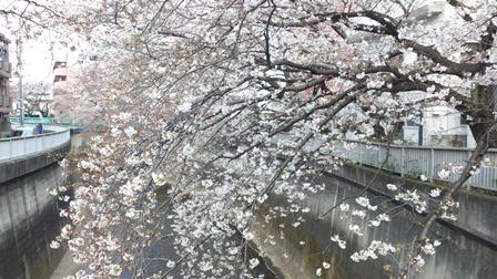 桜の花アフター