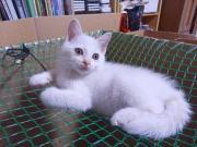 2012/6/30 白猫♂飼主募集中♪