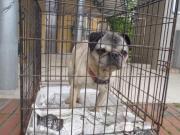 パグ犬(ラブちゃん)2012.5.19