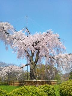 丸山公園 しだれ桜