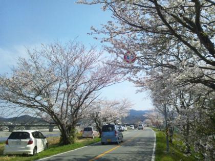 伊勢宮川堤(小俣)の桜