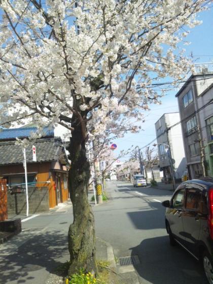 伊勢市内 桜並木